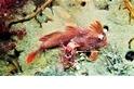 罕見畫面:澳洲發現極危「紅色手魚」新群體 估計數量最多增至……80條