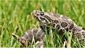 一種神秘的真菌正在殺死響尾蛇