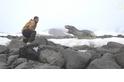 探險直擊:同類也想撿現成!豹斑海豹爭食獵物
