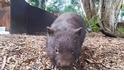 可愛警告:澳洲超萌袋熊「暴衝」啦!