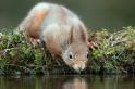 紅松鼠喝水——特寫!