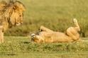 母獅呼叫牠的伴侶
