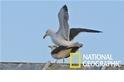 雄性海鷗想交配?首先要練好平衡感!