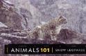 101動物教室:神祕的山中幽靈──雪豹
