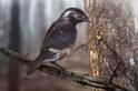 封印琥珀中的遠古鳥類有著古怪的長腳趾