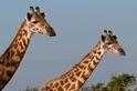IUCN宣布:馬賽長頸鹿已瀕臨絕種