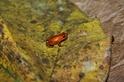 發現指甲大小的新種箭毒蛙