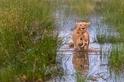 母獅帶著兩隻小獅渡水