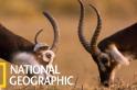 躲過蘇丹內戰的白耳赤羚