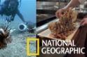 用「吃」解決佛州海域獅子魚氾濫問題