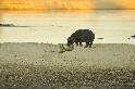 河馬竟與鬣狗玩起了「親親」?
