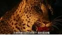 探險直擊:拍攝花豹的致命吸引力