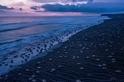 這可能是有史以來拍攝到最大的海龜潮!