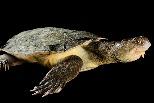 用「屁股呼吸」的烏龜