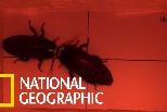 「戰將派」VS「情聖派」的馬島蟑螂生殖競爭策略