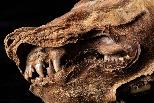 育空永凍層中出土5萬7000年前的幼狼木乃伊