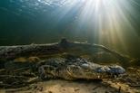 科學家大感驚訝,原來美洲短吻鱷也能再生斷掉的尾巴!