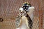 吃驚的猴子