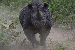 衝刺的犀牛