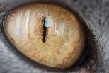 金色的貓眼