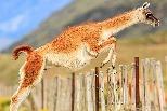 翻過圍籬的原駝