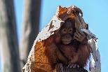 小紅毛猩猩