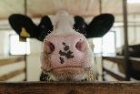 新研究發現:牛胃中微生物可以分解塑膠