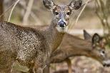 美國野鹿身上驗出冠狀病毒抗體