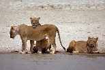 懶洋洋的母獅