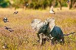 追逐啄牛鳥的小象