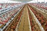 科學家示警 集約化養殖是「疾病儲存庫」 正孵化下一波傳染病大流行