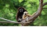 【動物好朋友】白手長臂猿(White handed gibbon)
