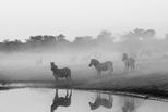 非黑即白:波札那斑馬