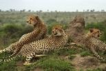 原野守望:南非獵豹