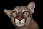 坦帕市洛瑞公園動物園:佛羅里達山獅