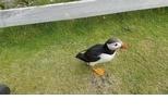看這隻好奇的海鸚與遊客交朋友