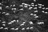 飄忽如煙的羊群