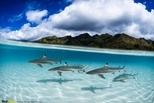 木雷亞島周圍的黑稍真鯊