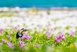 海邊的犀鳥