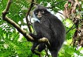 科學家從糞便提取DNA 鑑定出三種新種瀕危葉猴 踏出保育第一步