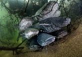 「食鴿巨鯰」正嚴重破壞歐洲河川生態系