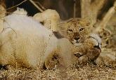 亞洲獅母子