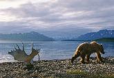 阿拉斯加灰熊