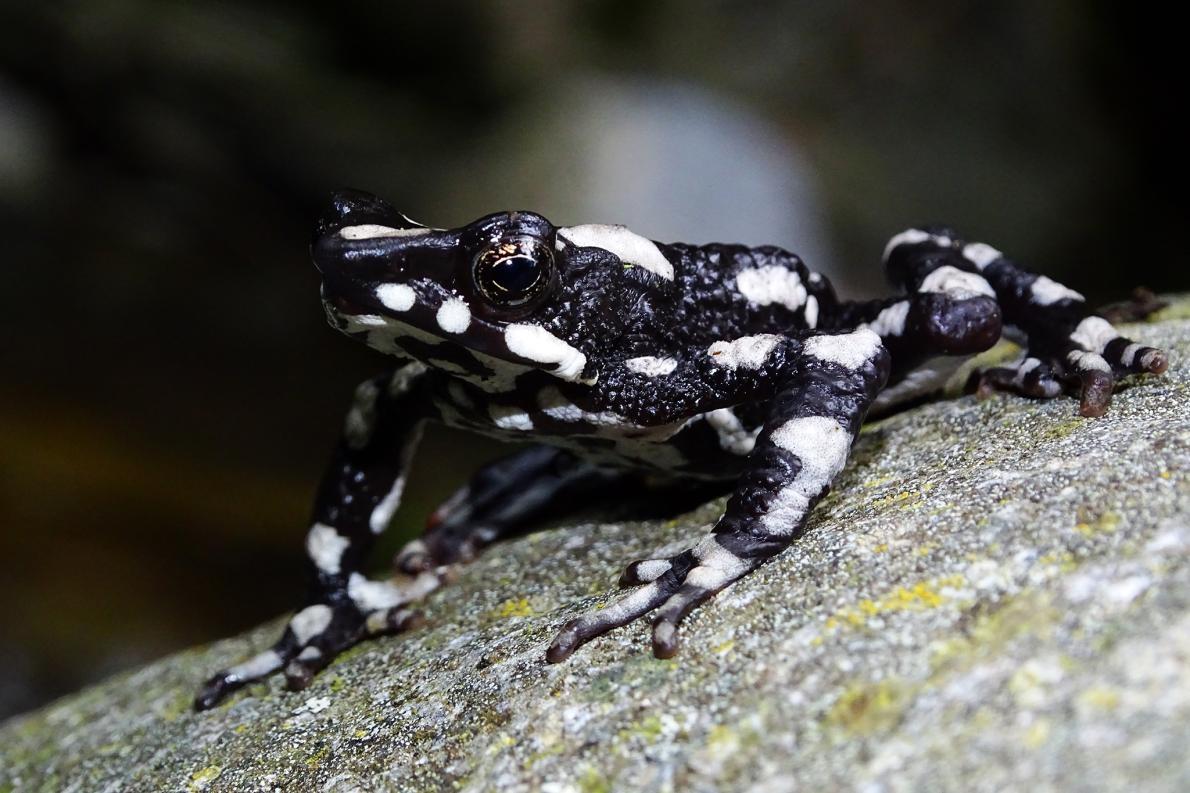 星夜斑蟾(<i>Atelopus aryescue</i>)得名於牠們在哥倫比亞山區棲地的星空。PHOTOGRAPH COURTESY FUNDACION ATELOPUS