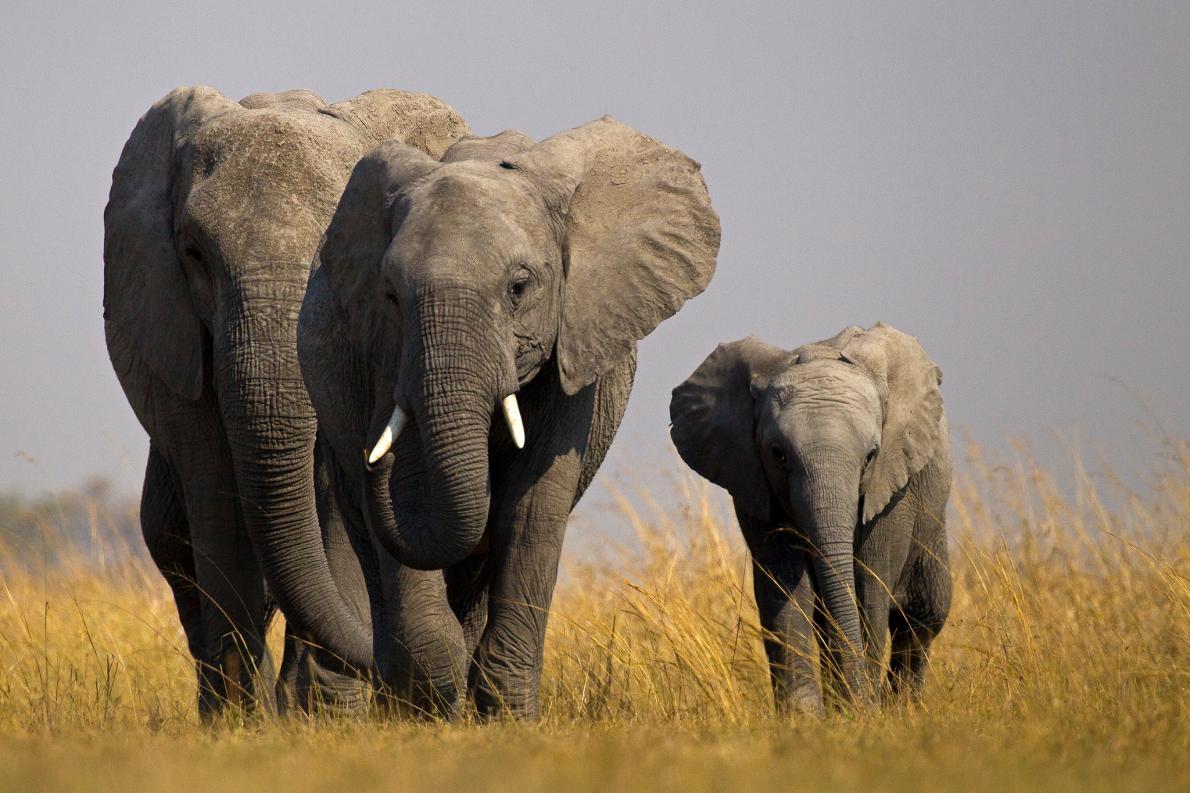 今年,有野生大象的非洲國家要把牠們送往非洲之外的動物園變得更加困難了。PHOTOGRAPH BY BEVERLY JOUBERT, NAT GEO IMAGE COLLECTION