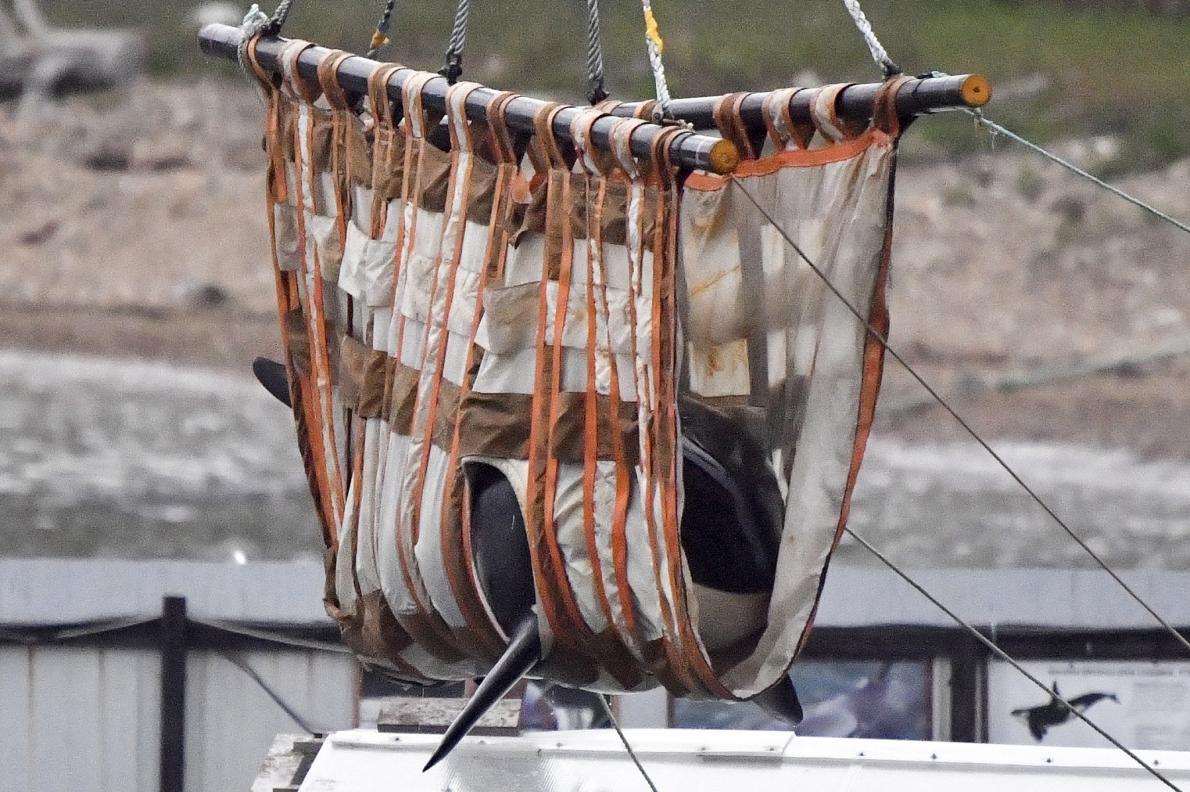 在遭到捕捉並關在結冰的「鯨魚監獄」數個月後,將近一百頭鯨魚與虎鯨重返野外。本照片顯示其中一頭虎鯨被人以吊索吊起,準備運往鄂霍次克海的野放地點。PHOTOGRAPH BY YURI SMITYUK, TASS/GETTY