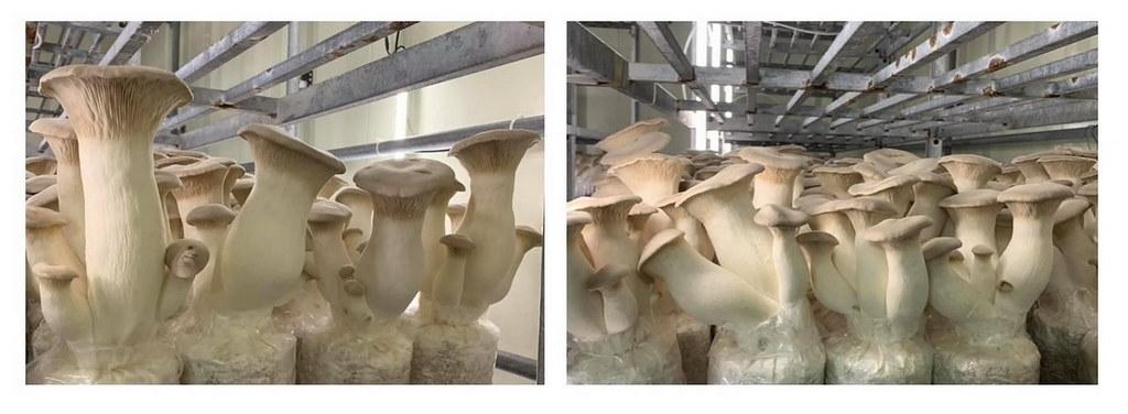 農試所菇類環控栽培室示範再生介質杏鮑菇種植(右)實況,新配方可取代木屑30~100%,產量相當且無安全疑慮。農試所提供