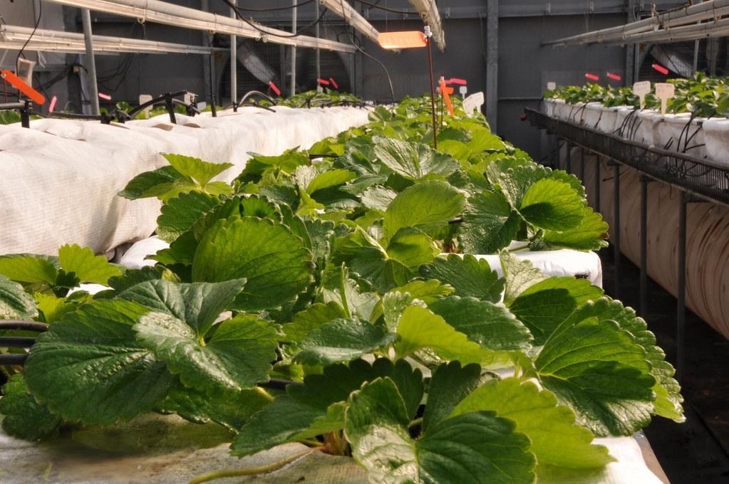 以香菇廢棄太空包介質調製的培養土栽培草莓苗,能節省泥炭土使用量達50%。農試所提供
