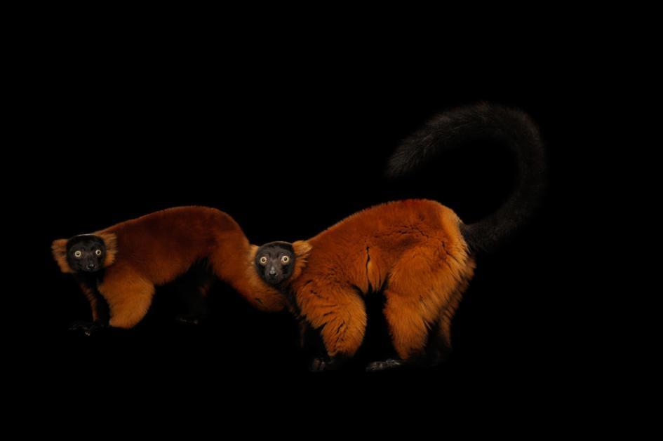 伊利諾州布隆明頓的米勒動物公園中呆愣的紅領狐猴。PHOTOGRAPH BY JOEL SARTORE, NATIONAL GEOGRAPHIC PHOTO ARK