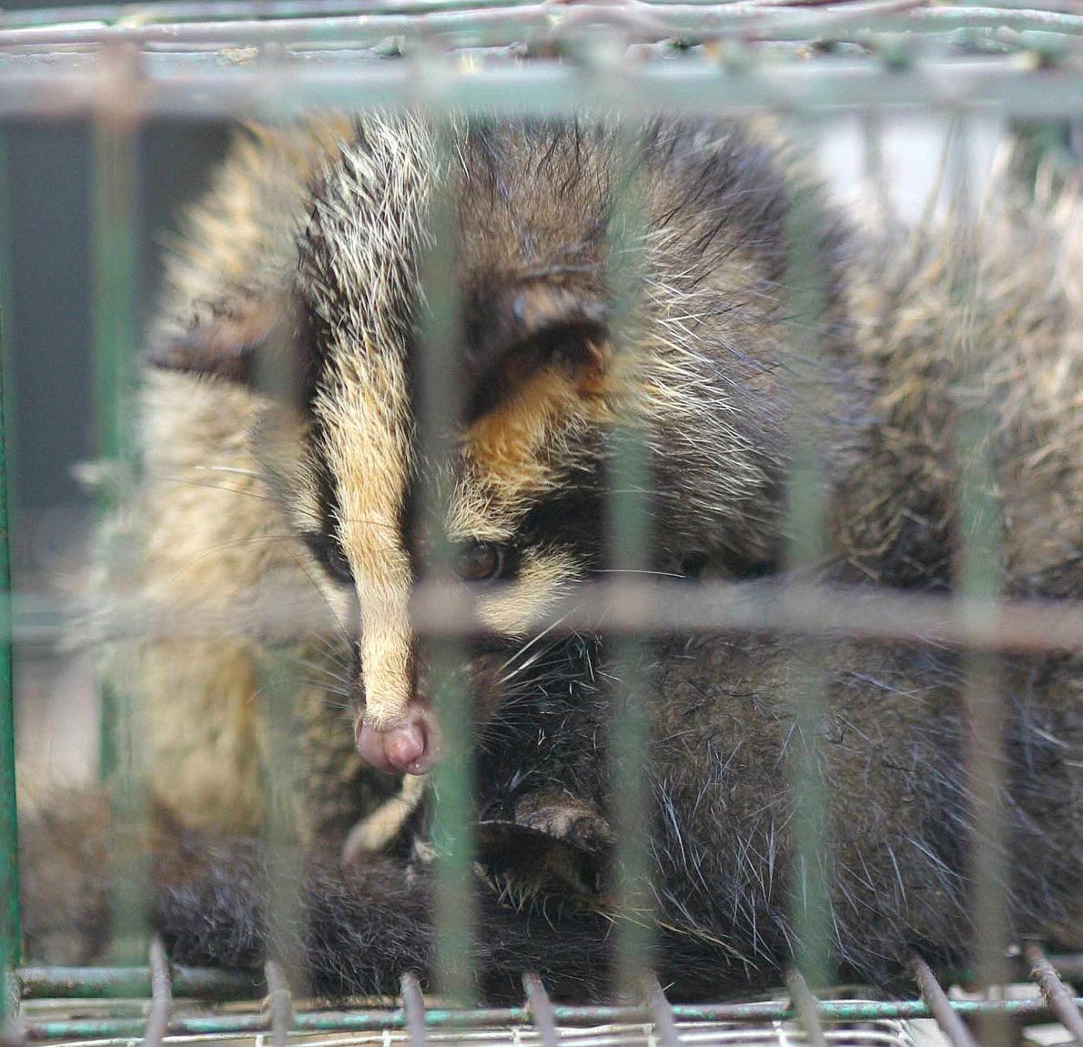 一隻關在籠中的果子狸於2003年華南地區一處市場出售,當時是SARS疫情的最高峰。即便咸信是果子狸將SARS病毒傳播給人類,果子狸湯在中國某些地區仍是一道珍饈。PHOTOGRAPH BY AFP, GETTY